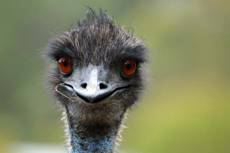 Funny - but kind of scary - emu videos on YouTube