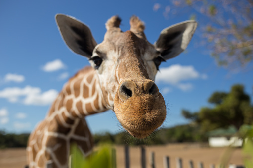 Video creators and video creativity - bleating giraffes and other animal sounds